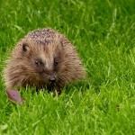 Netradiční domácí mazlíček – ježek
