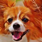 Co je důležité vědět o čivavě / chihuahua