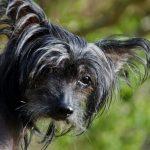Čínský chocholatý pes