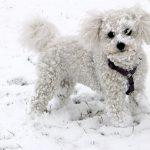 Péče o psa v zimním období, malá plemena