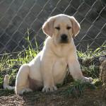 Labrador – štěně, které si zamilujete