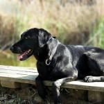 Labradorský retrívr (první část)