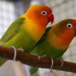 Papoušek Agarponis