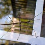 Strašilky jako domácí mazlíčci