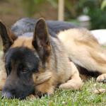 Pes – 10 nejoblíbenějších ras (první část)