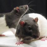 Potkan jako domácí mazlíček (druhá část)
