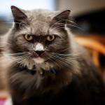 Kočičí smysly Kočky nemají na rozdíl od lidí pět, ale šest smyslů.