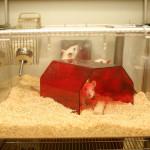 Potkan jako domácí mazlíček (první část)