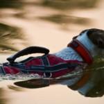 Naučte svého psa plavat. Posílíte jeho zdraví, kondici i svalovou hmotu