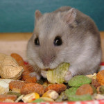 Russian Dwarfhamster eating
