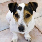 1403439_jacky_-_our_young_jack_russel_dog