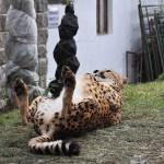 Gepard jako domácí mazlíček