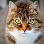 Kočka domácí je vesnická klasika