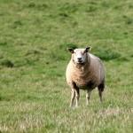 Srovnání chovu ovcí kdysi a dnes