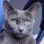 Modrá ruská kočka