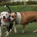 Pitbull – pes náročný na pohyb