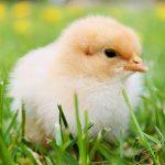 Vylíhněte si kuřátka