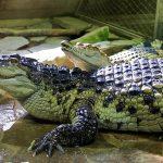 Odpocivajici krokodyl siamsky 3