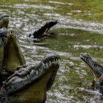 Krokodýlí ZOO v Protivíně se daří chovat a množit kriticky ohrožené druhy krokodýlů