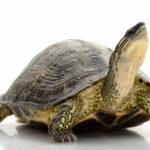 Zazimovat nebo nezazimovat želvu?
