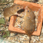 Chov inteligentních potkanů