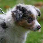 Pes – 10 nejoblíbenějších ras (třetí část)