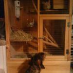 Hund møder chinchilla