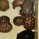 Hmotnost, pohlaví a krunýř želvy