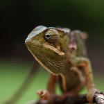 Chameleon jako domácí mazlíček?