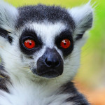 Chov lemurů