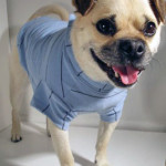 Buddy the Puggy in his Benny Polo ♥