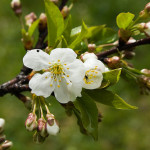 White cherry blossom on a branch