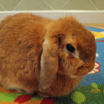 Onemocnění zakrslých králíků