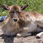 Fallow Deer {Dama dama}