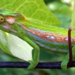 Chov chameleona