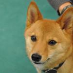 Jak krmit psa s chronickými střevními obtížemi