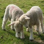 Chov ovce od jehněte