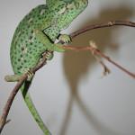 Seized at the Border: Chameleons
