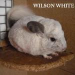 Wilson white